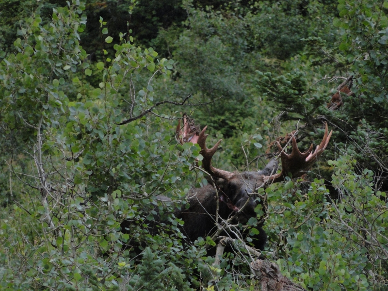 Moose on Hike up Mt Timponogos, Utah
