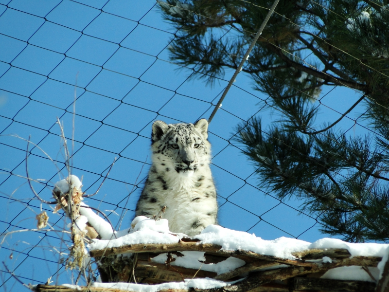 Snow Leopard Cub at Hogle Zoo Utah