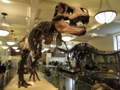 Tyrannosaurus Rex at Museum of Natural History New York City