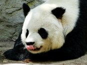 Panda Making Funny Face at San Diego Zoo