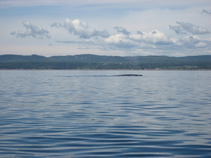 Blue Whale in St Lawrence River