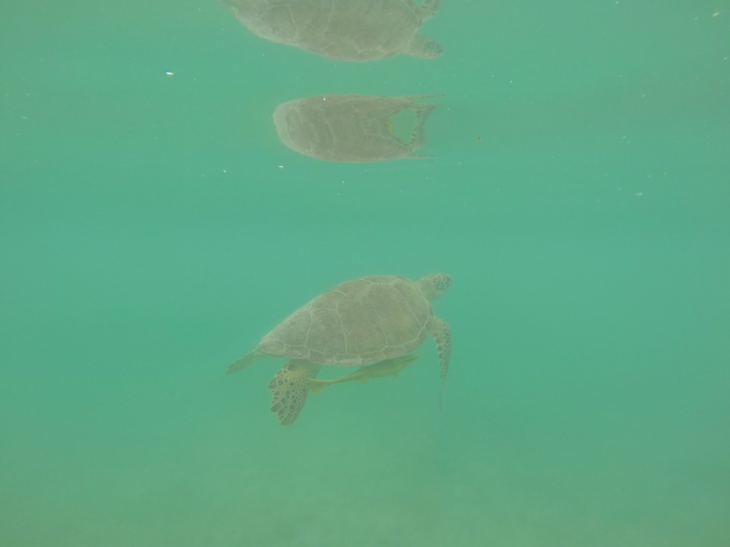 Swimming with Sea Turtles Akumal Mexico